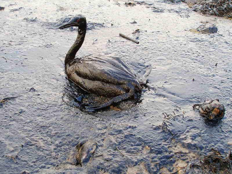 Sea bird poisoned in oil spill